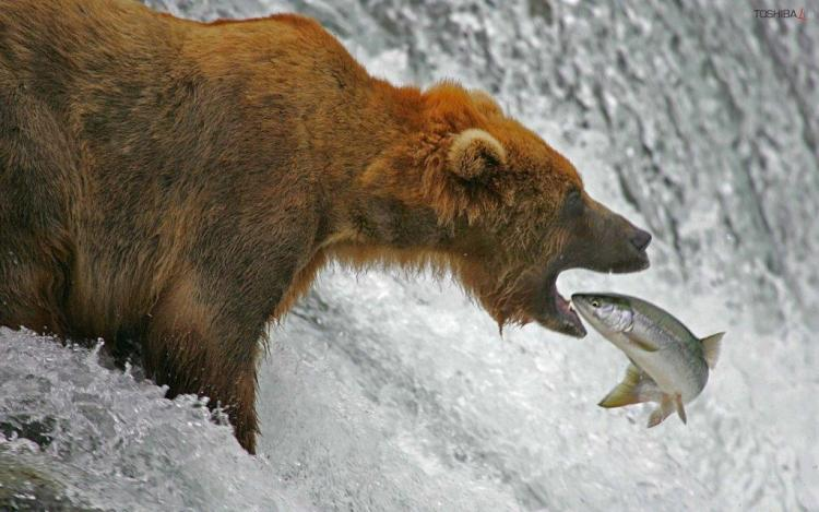 Grizzly Bear With The Fish Full Hd Wallpaper