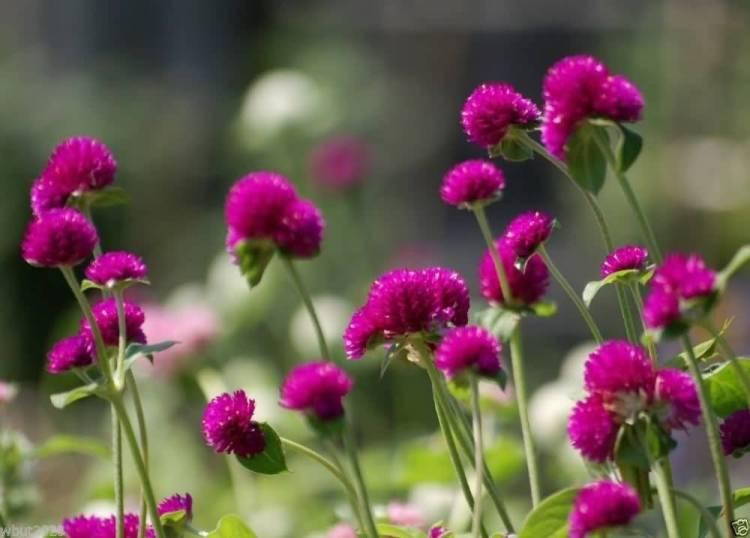 High Definition Amaranth Globe Flowers For Decoration