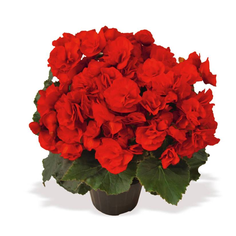 High Defination Red Begonia Flower Plant For Wishing Someone