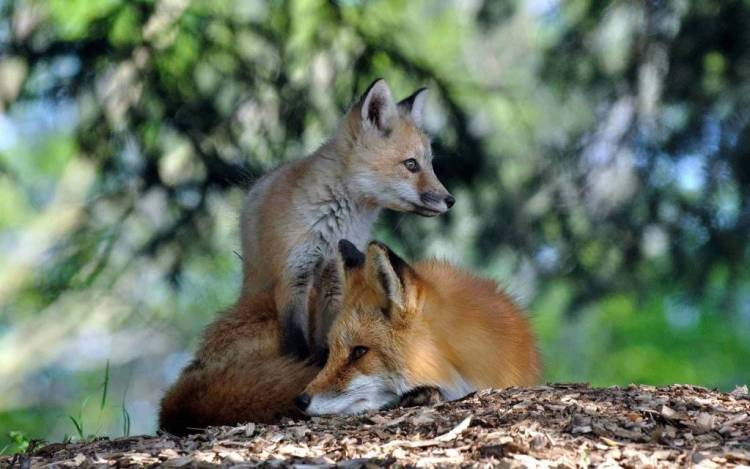 Little Fox With His Mother Full Hd Wallpaper
