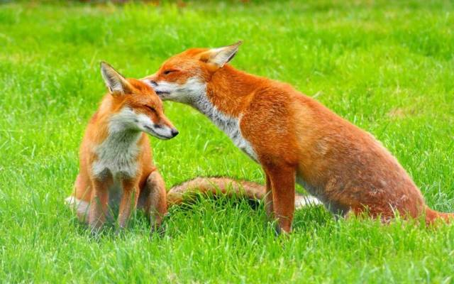 Love Between Red Foxes Very Cute 4k Wallpaper