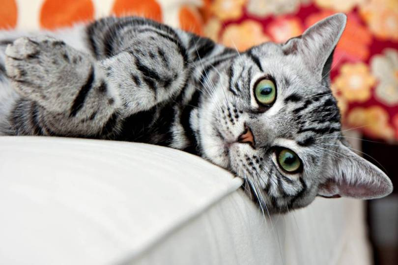 Lovely American Shorthair Cat sitting on bed and Looking At You