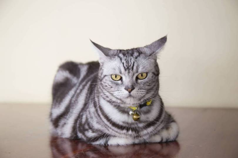 Lovely And Cute American Shorthair Cat With nice Eyes