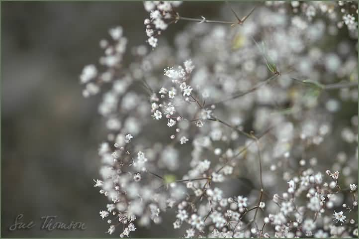 Lovely Baby's Breath Flower Wallpaper