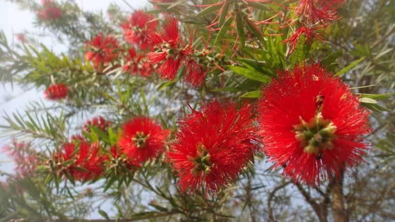 Lovely Bottle Brush Flowers On Tree With Background Sky