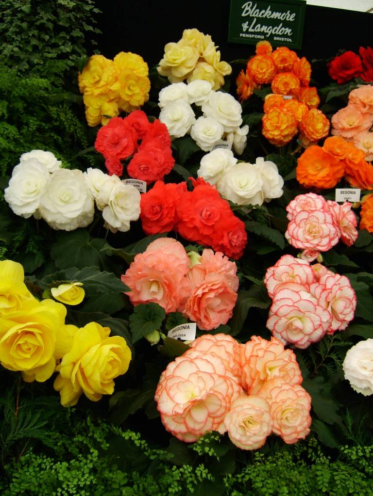 Lovely Colorful Begonia Flower Plant for Decoration