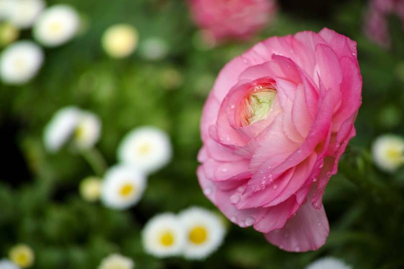 Lovely Pink Persian Buttercup With Awesome Background