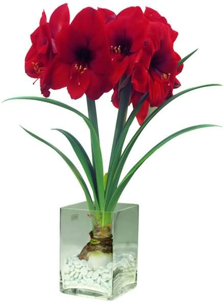 Lovely Red Amaryllis Bulb Flower