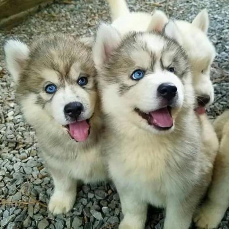 Lovely White Husky Baby Dog With His Brothers Playing And Smiling