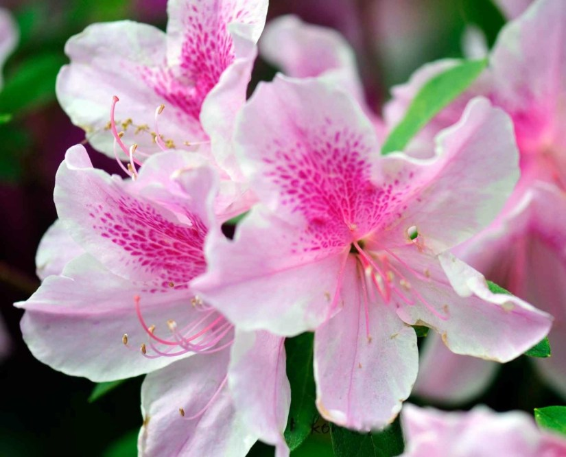 Lovely White With Pink Combination Azalea Flower