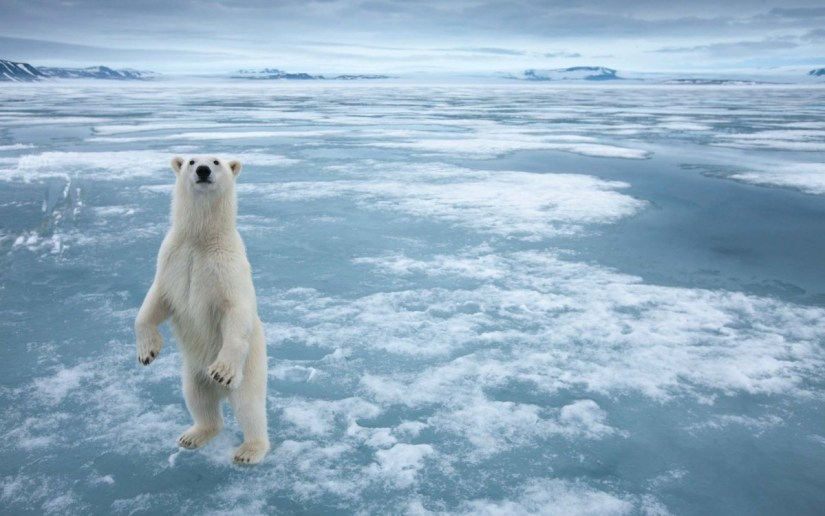 Magnificent Polar Bear Standing On The Ice Full Hd Wallpaper