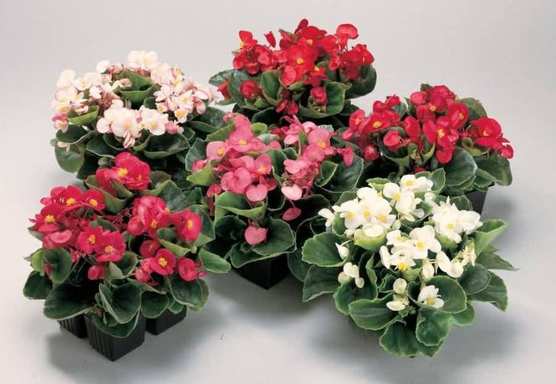 Mind Blowing Begonia Flowers Bouquet For Decoration