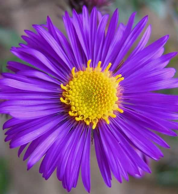 Mind Blowing Blue Aster Flower With Yellow Center For Wedding