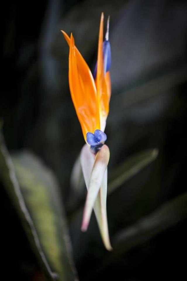 Mind Blowing Orange Bird Of Paradise Flower With Black Background