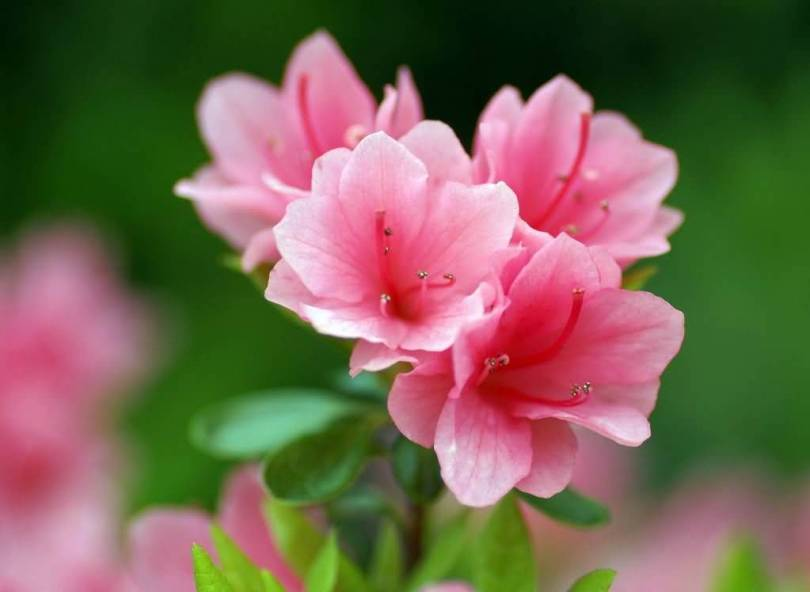 Mind Blowing Pink And White Azalea Flower For Decoration