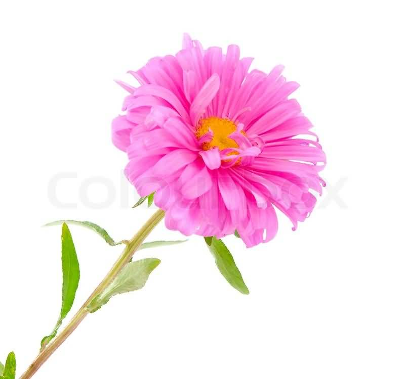 Mind Blowing Pink Aster Flower In Plant Best Wallpaper
