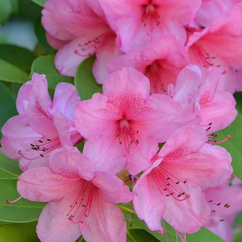 Mind Blowing Pink Azalea Flower With Green Combination