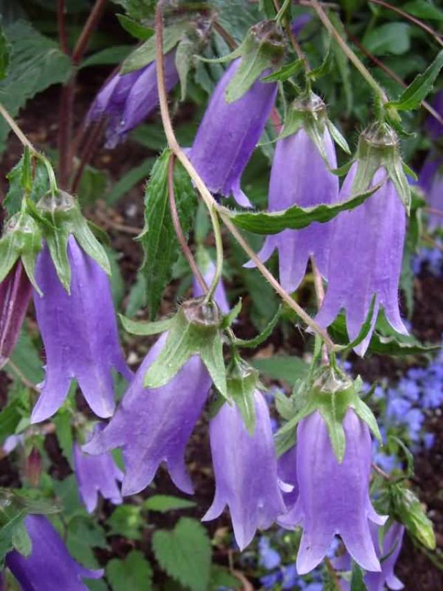 Mind Blowing Purple Bellflowers For Decoration