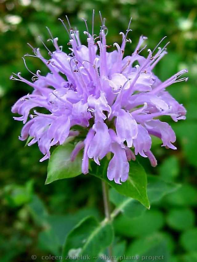 Mind Blowing Purple Bergamot Flower With Green Background