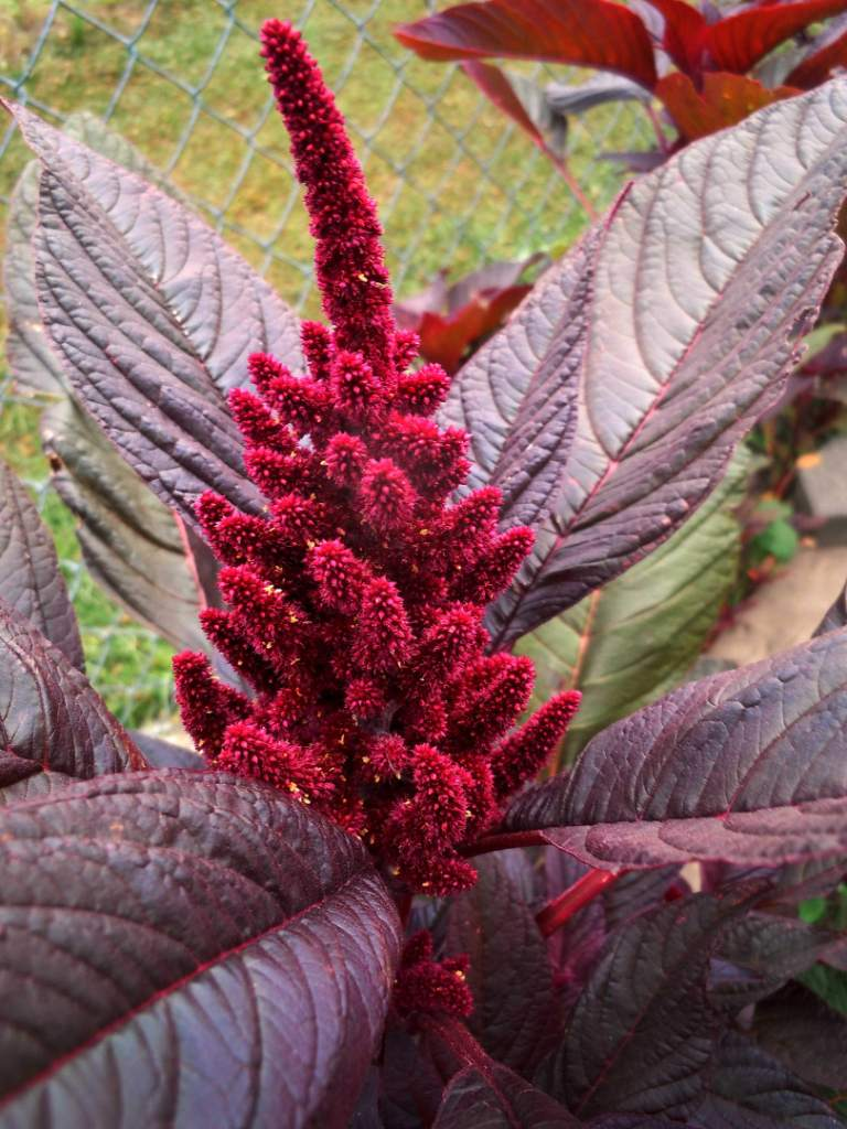 Mind Blowing Red Amaranth Flower Plant With Unique Black Leafs