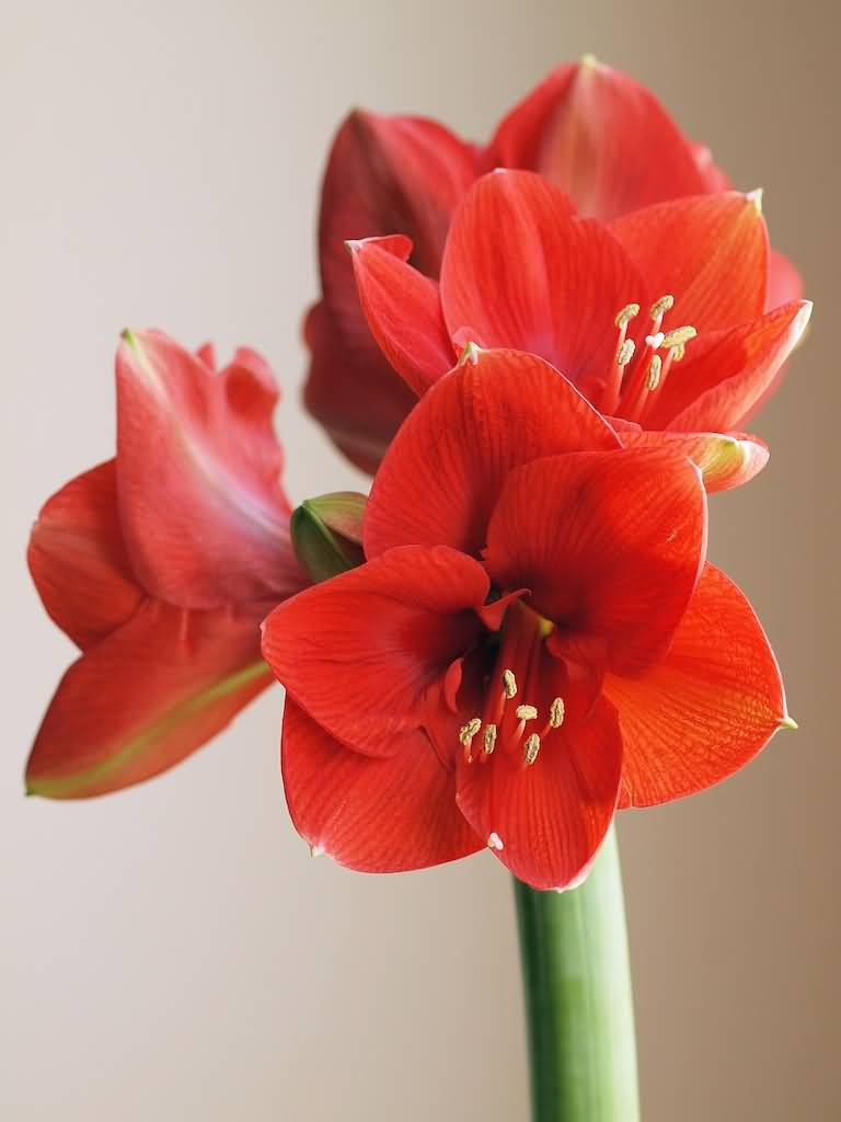 Mind Blowing Red Amaryllis Flowers For Wallpaper