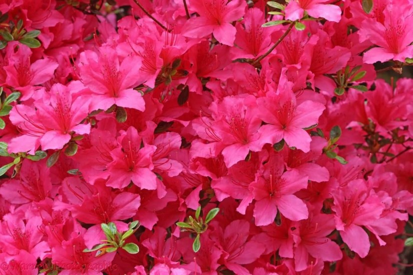 Mind Blowing Red Azalea Flower For Decoration