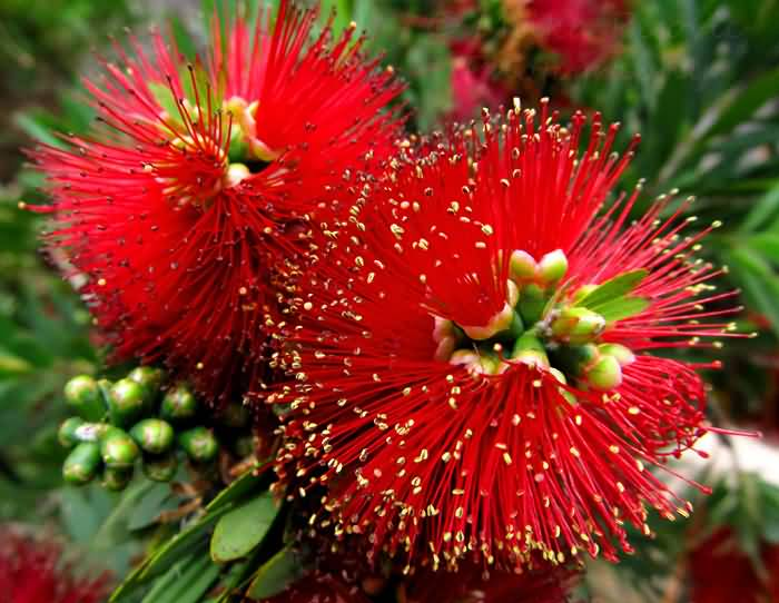 Mind Blowing Two Bottle Brush Flower With Green Leafs