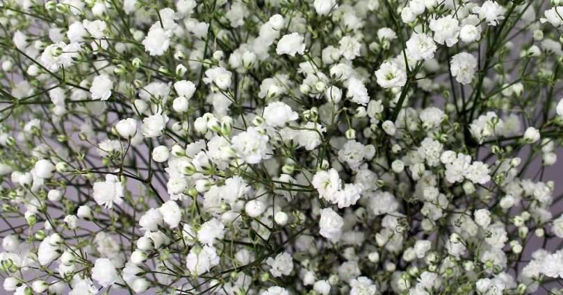 Mind Blowing White Baby's Breath Flowers in Plants