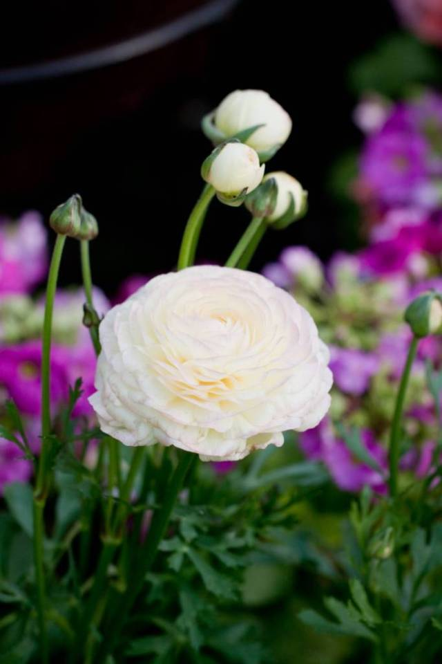 Mind Blowing White Persian Buttercup Flower Plant With Beautiful Background