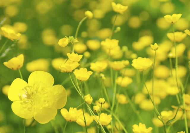 Mind Blowing Yellow Buttercup Flowers Plant For Decoration