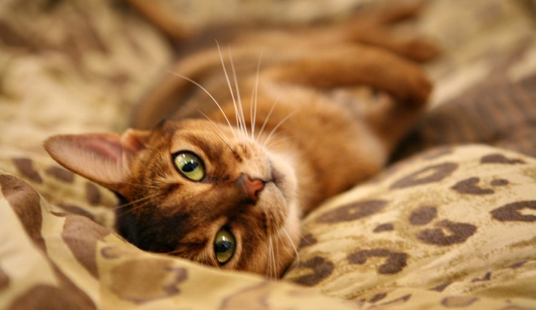 Most Abyssinian Cat With nice Eyes Looking At You