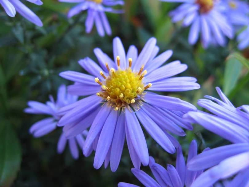 Most Beautiful Blue And Yellow Aster Flower Plant For Desktop