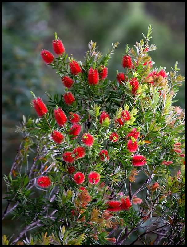 Most Beautiful Bottle Brush Flower Plant Image With Awesome Nature