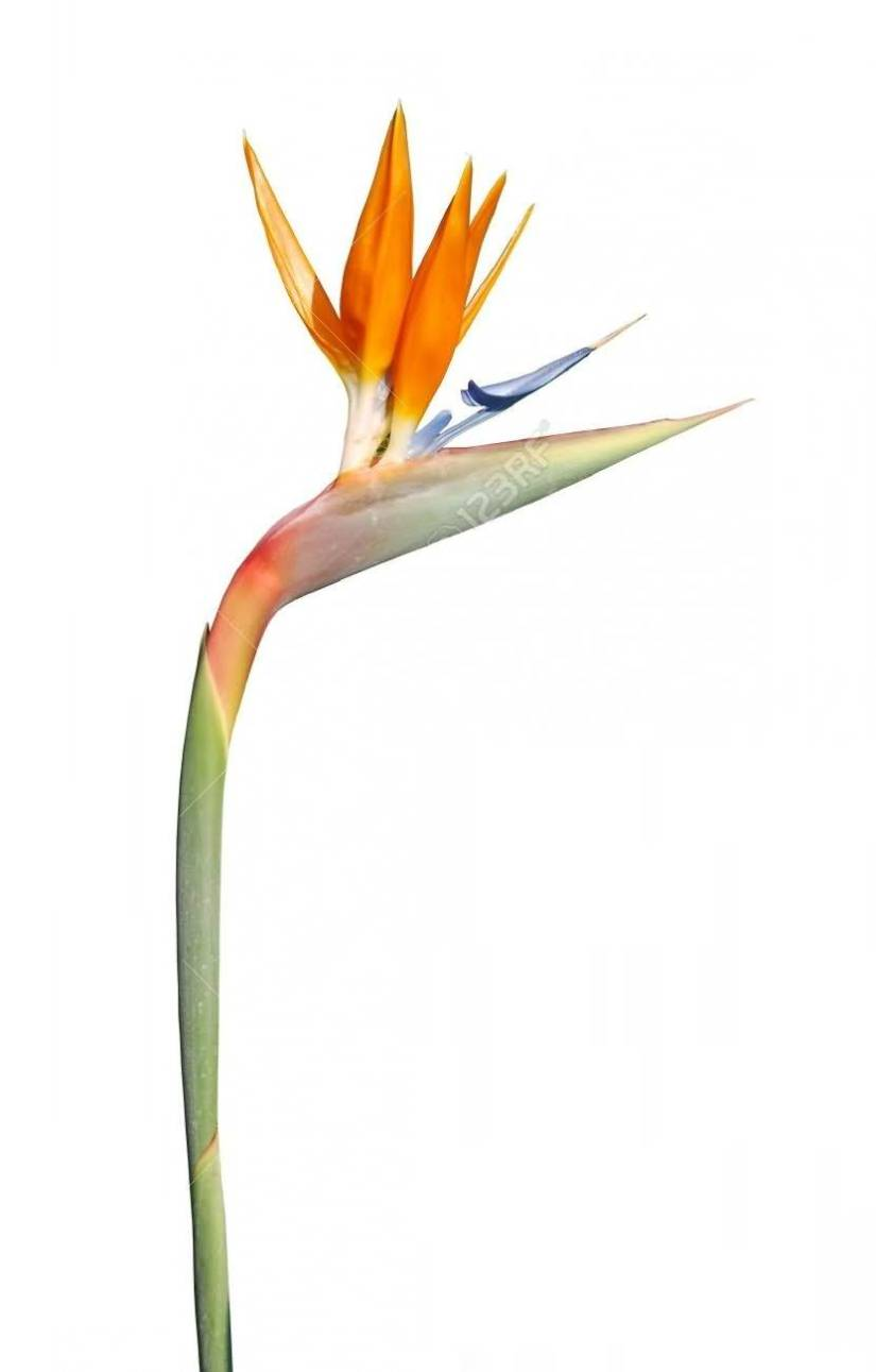 Most Beautiful Elegant Bird Of Paradise Flower With White Background