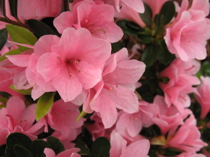 Most Beautiful Pink Azalea Flower For Decoration