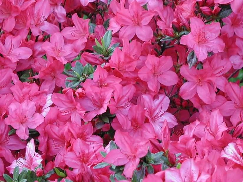 Most Beautiful Pink Azalea Flowers In Plant