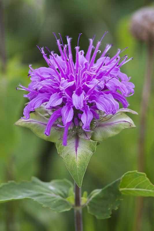 Most Beautiful Purple Bergamot Flower Plant With Green Background