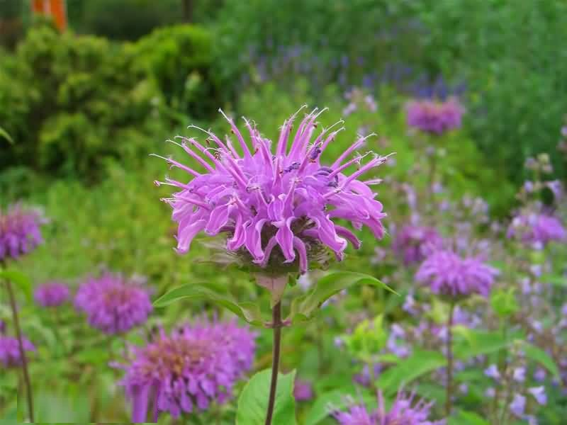 Most Beautiful Purple Bergamot Flowers For Wedding