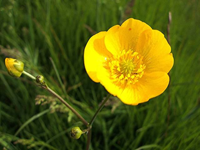 Most Beautiful Yellow Buttercup Flower Plant With Green Leafs