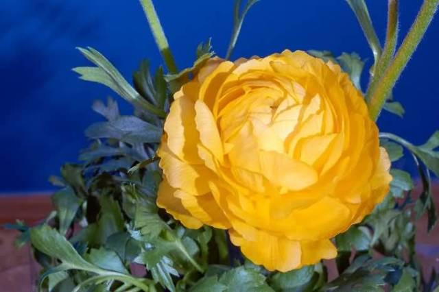 Most Beautiful Yellow Buttercup Flower Wallpaper