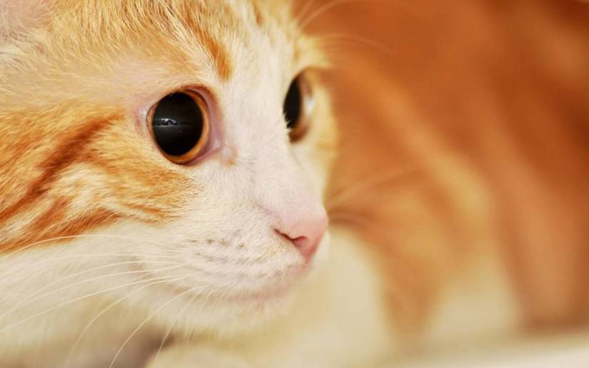 Most Incredible Eyes Of A Sad Cat HD 4K Wallpaper