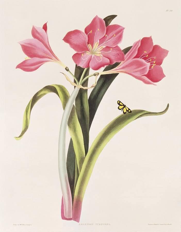 Nice Charming Pink Amaryllis Flower Sketch