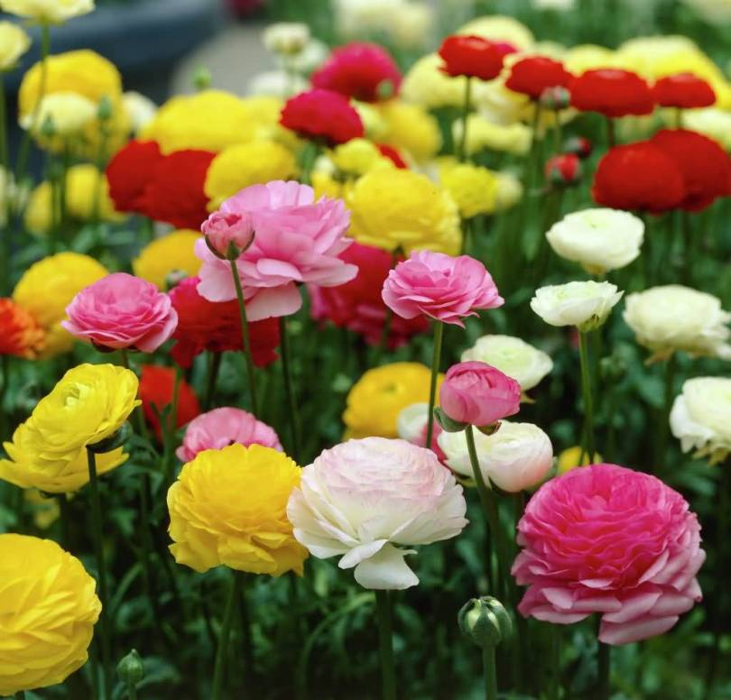 Nice Colorful Persian Buttercup Flowers For Decoration