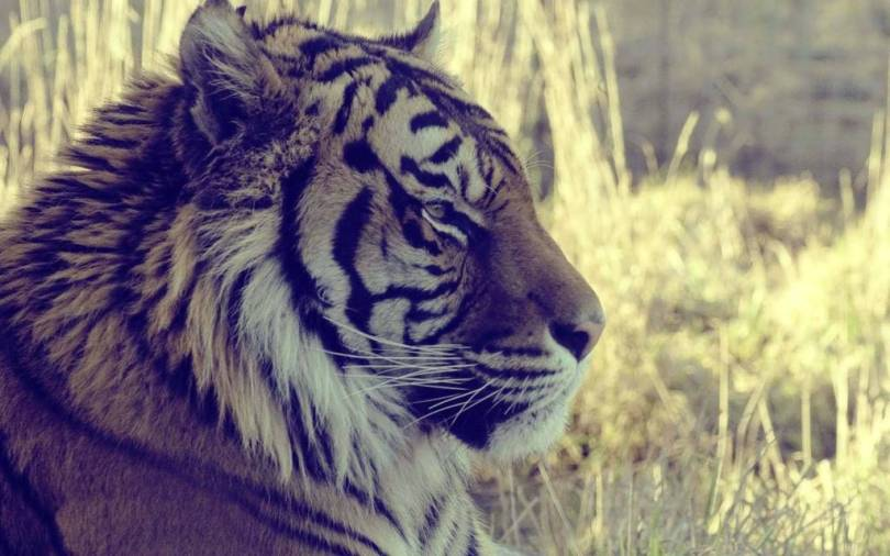 Nice Wallpaper Of A Gorgeous Tiger Full HD Wallpaper