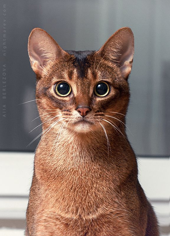 Nice brown Abyssinian Cats Looking at You