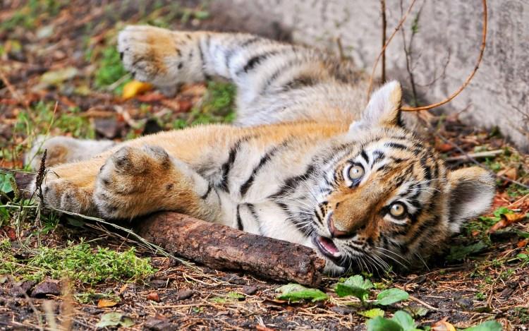 nice-cute-tiger-seems-asleep-or-awake-full-hd-wallpaper