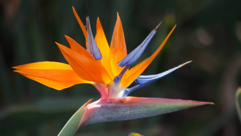 Out Standing Bird Of Paradise Flower For Wallpaper