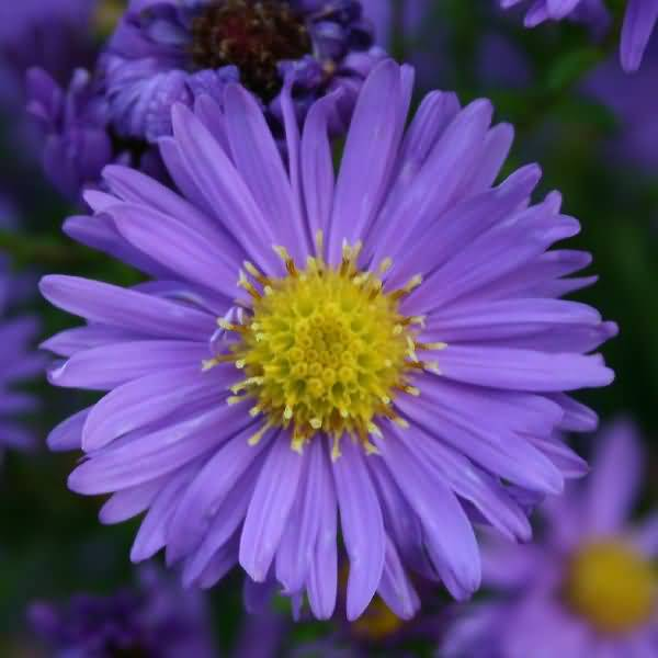 Out Standing Blue Aster Flower For Best Wallpaper