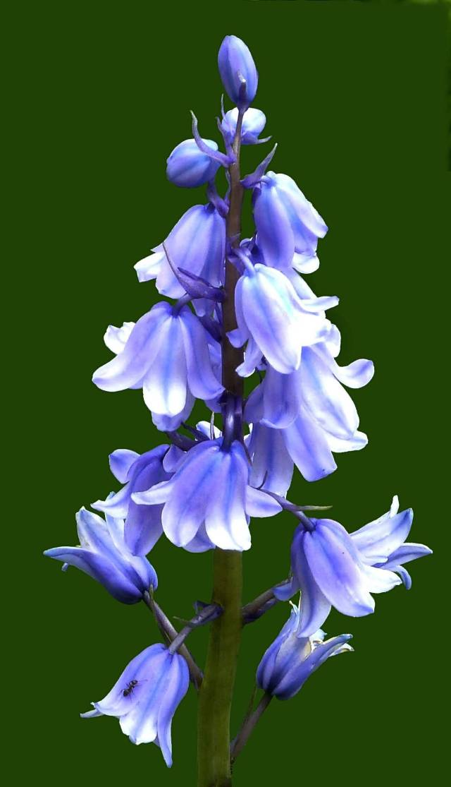 Out Standing Light Bluebell Flower With Green Background