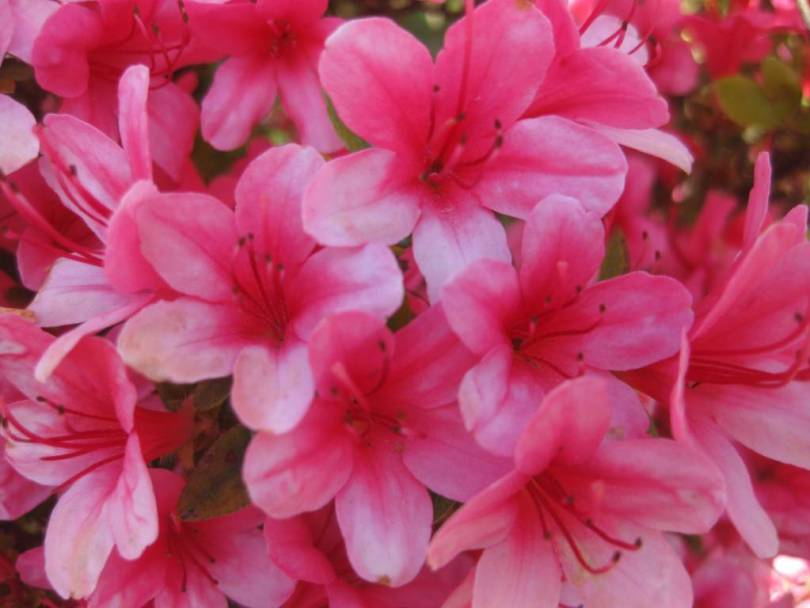 Out Standing Light Pink Azalea Flowers For Wedding